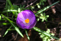 Purple crocus - top